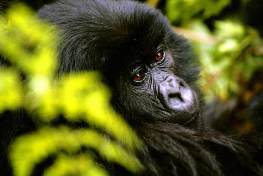 Rwanda: Gorilla spotting in Volcano National Park