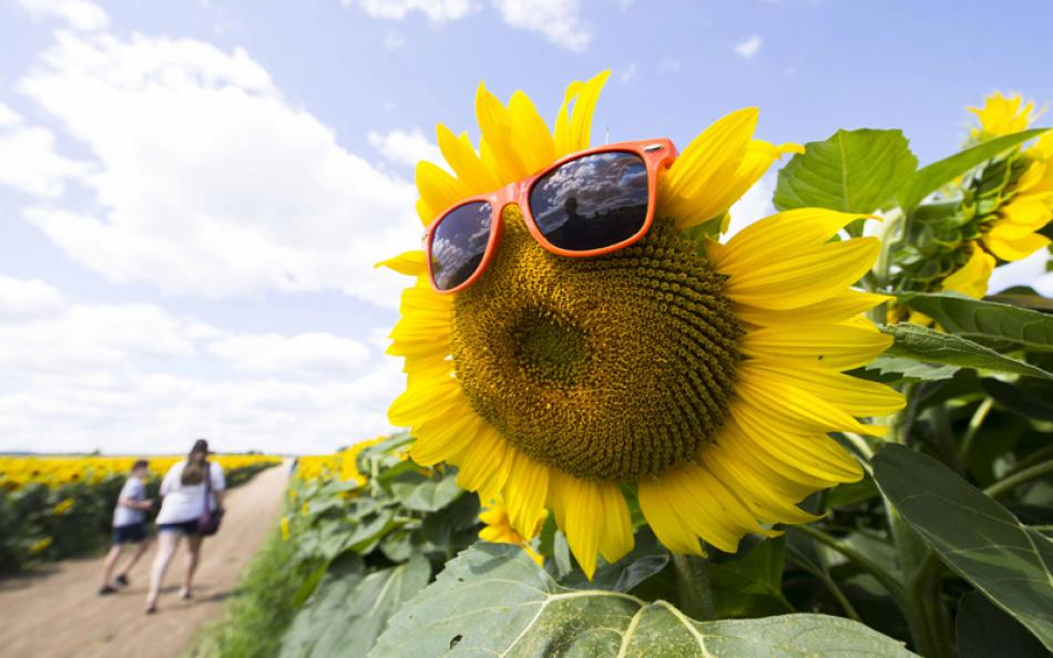 View of a sunflower with sunglasses at Davis Famil ...