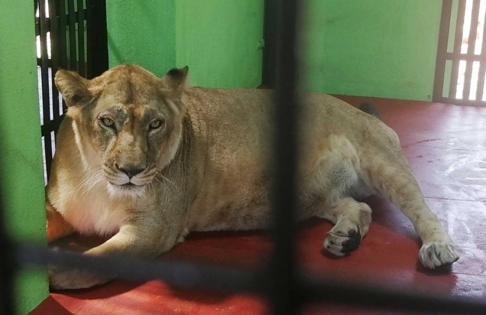 Karnataka: Lions brought from Bannerghatta to Bootharamanatti Zoo