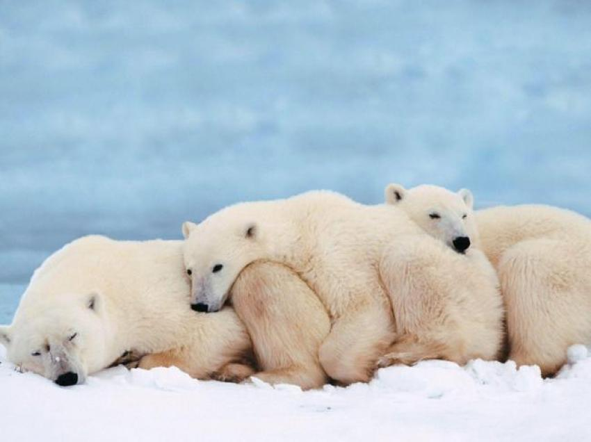 Vanishing ice boost to polar bear tourism in Alaska